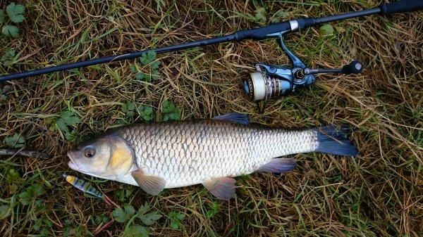 Premier fish de l ann�e chub d environ 50 !