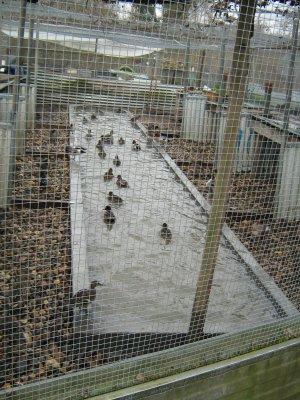 Le parc sauvagines avec nouveau bassin beton sauvaginier du 33 - Bassin canard beton orleans ...