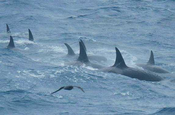 Des orques tr�s rares ont �t�s film�s