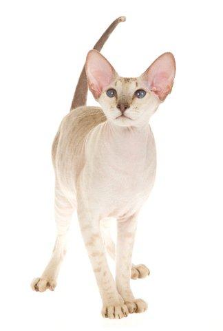 Chats sans poils prix - Chat qui perd pas ses poils ...