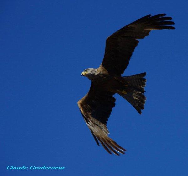 La queue d'un oiseau sert-elle de gouvernail ?