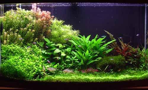 plantes en aquariums aquabase