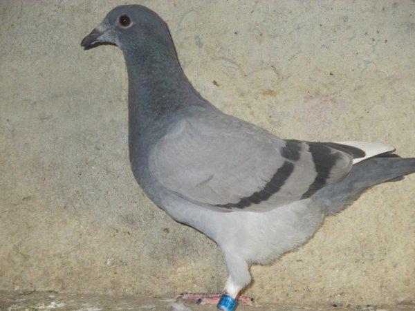 Jeune pigeon de chez ELIE BAYART