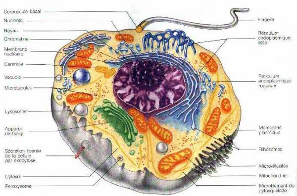 Nombre de cellules dans le corps humain 60000 100000 for Interieur du corps humain