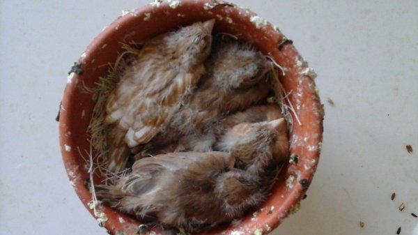 Quelques nids 130 baguer au premier tour et pas mal de perte � 2 voir 3jrs