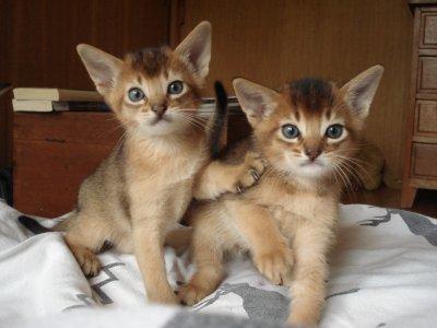 Labyssin possède de grandes oreilles écartées et de beaux yeux en amande.La tête fine et triangulaire de labyssin est soutenue par un long cou,