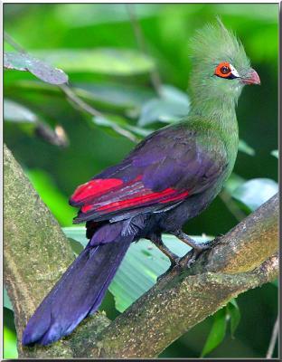 Touraco les plus beaux oiseaux du monde les for Le plus beau coq du monde