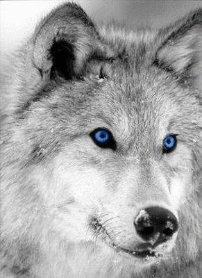 Loup gris au yeux bleu bebeloup62 - Yeux gris bleu ...