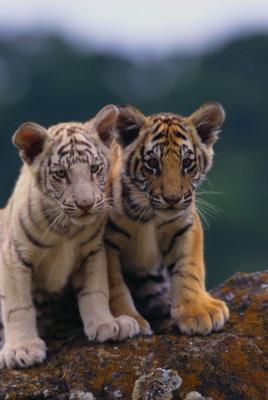 Les tigrons encore plus mignons tigre - Bebe tigre mignon ...
