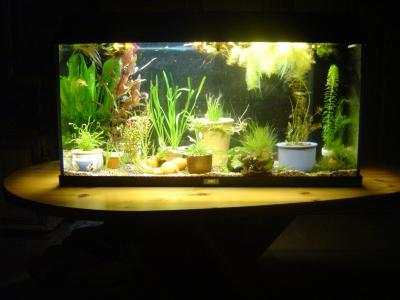 mon aquarium 100 litres avec 4 guppy sauvage et des. Black Bedroom Furniture Sets. Home Design Ideas