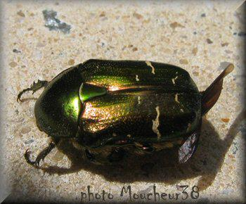 Le scarab vert une zoulie vache d guis en blonde - Insecte vert volant ...
