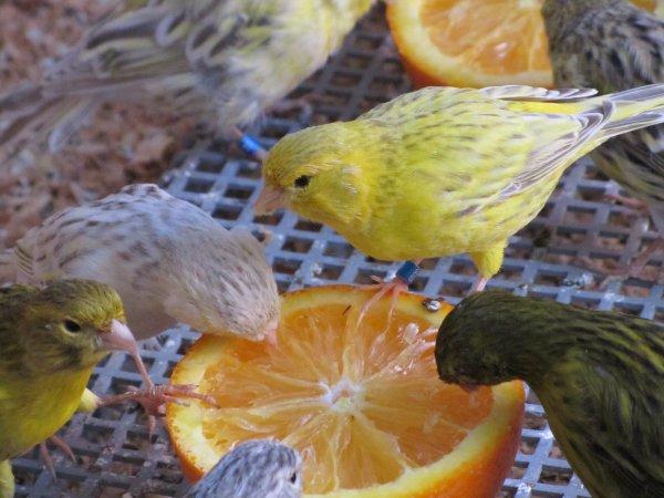 puros y portadores de topacio amarillo
