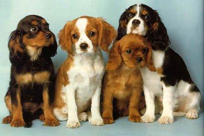 English Toy Spaniel Breeders Louisiana Blog de chien-du-momen...