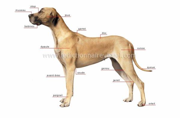 Un chien baise une beaut :: Zoophilie Sexe