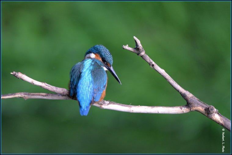 article  N� 1475  les oiseaux ......