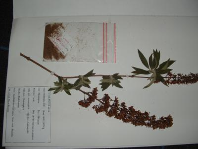 Blog de plantesauvages page 3 plante sauvage le site pour votre herbier - Plante a la gomme ...