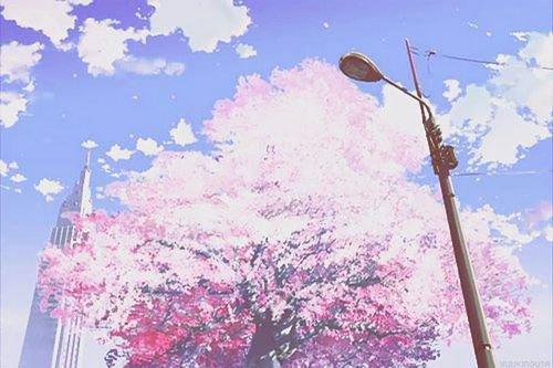 Cerisier en ville
