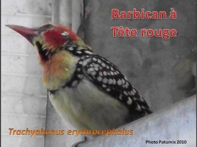 Barbican à tête rouge - Barbier Rouge à Queue de Lyre - Bec en Sabot du Nil - Bergeronnette des Ruisseaux - Bernache à Cou Roux -  Bernache Néné