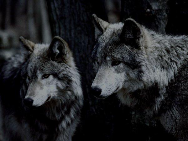 dans certain comportement de l'homme la nuance entre lui est l'animal est presque invisible.