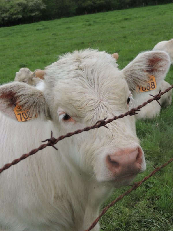 Nos amies les vaches!
