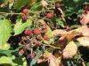 Le roncier, un biotope naturel remarquable!