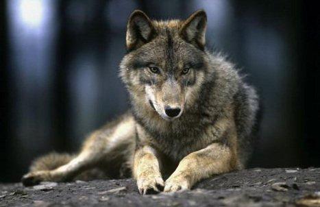 Victoire du loups (la suite enfin... )