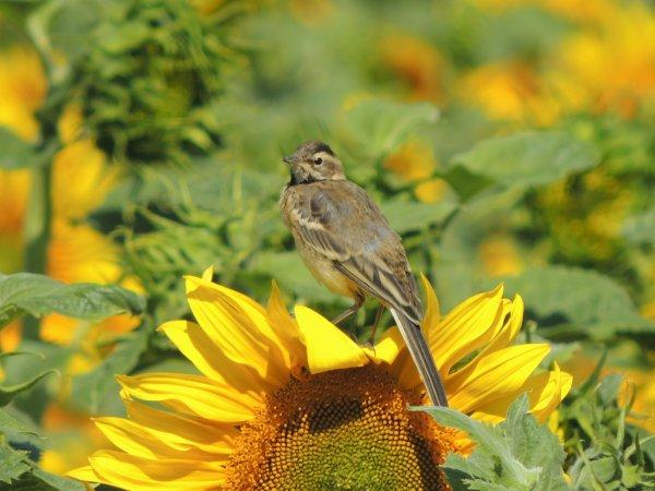 Sur la fleur du soleil