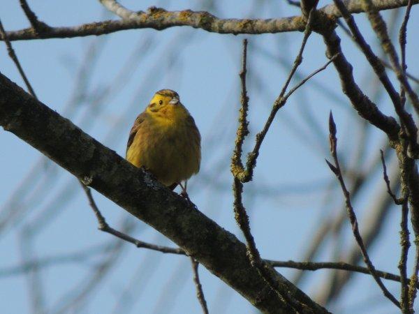 Bruant jaune, notre canari Européen