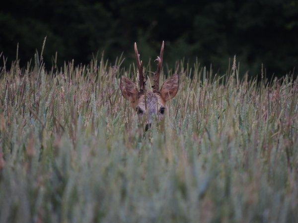 Face à face dans les blés