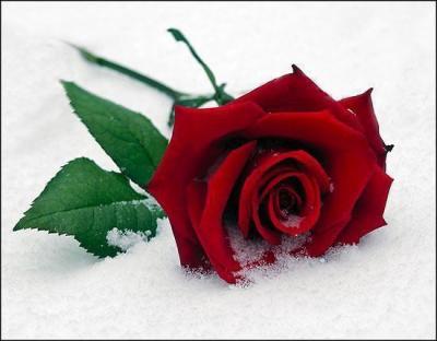 une rose pour toi car je t'aime - pour une personne que j'aime