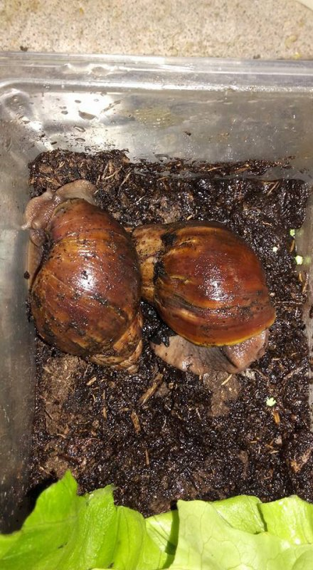 escargot d'Afrique achatina