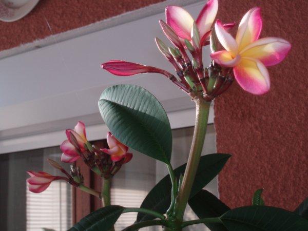 Mes plantes de frangipanie de île de la Reunion chez moi
