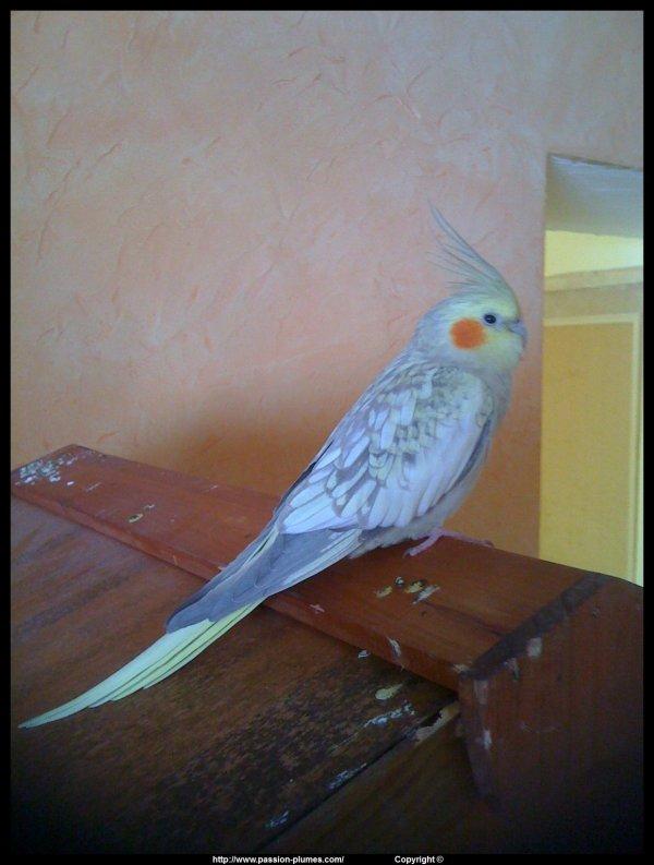 mon calopsitte E.A.M mâle (RIO)