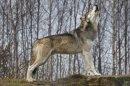 Photo de vive-avec-le-loup