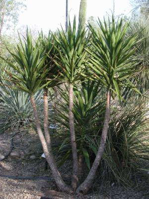 Blog de drbud page 18 jardin de bud - Yucca pied d elephant ...