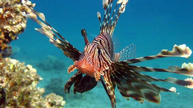 Un robot tueur de poissons-lions pour rétablir l'équilibre de l'écosystème des océans