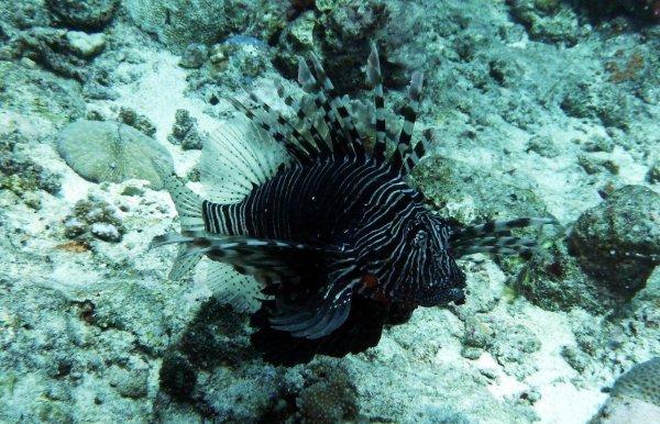 Spécial poissons scorpions