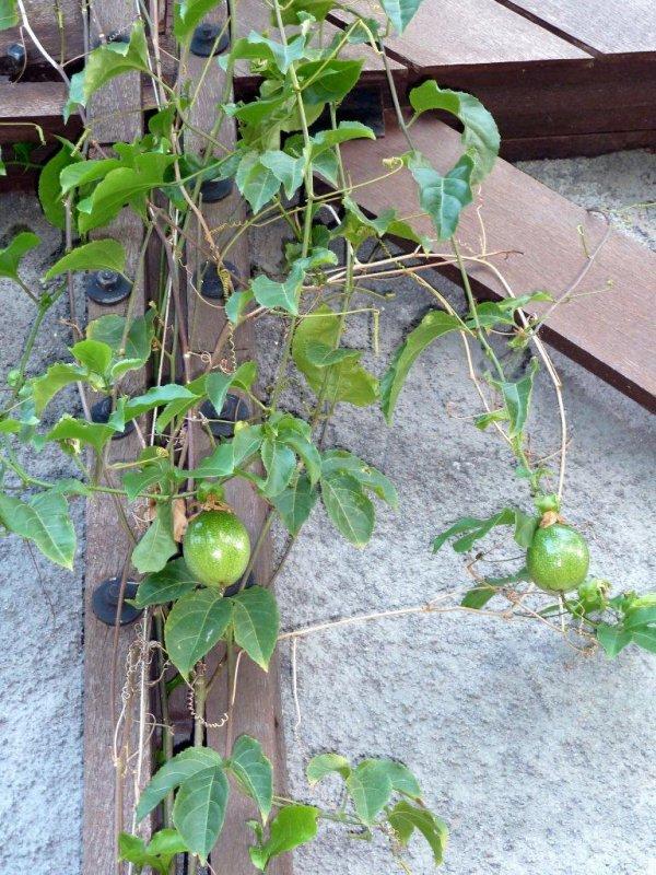 Fruits De La Passion Vivre A Mayotte