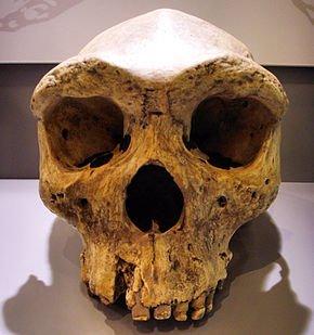 Les premiers hommes _ _ Homo rhodesiensis