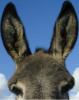 Avoir des oreilles d'âne