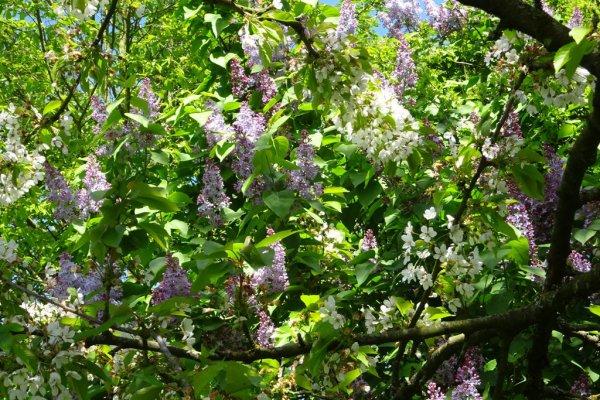 Le lilas de mon jardin