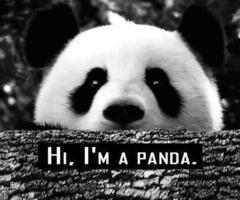 Bonjour. Je suis un Panda. Je ne suis ni tout blanc, ni tout noir, donc je suis un mélange parfait entre le bien et le mal. Je mange 6 à 7 kg de bambous par jours. J'ai la capacité physique de sursauter lorsque j'ai peur. Bon, je fais caca toute la journée mais ça c'est pas grave. Je ne peut m'accoupler qu'une fois par an, dans un délais temps de 30min. Je suis asiatique mais mes yeux restent normaux. J'ai l'air d'une grosse peluche. Et j'ai un avantage considérable, je ne tombe jamais amoureux MOI.