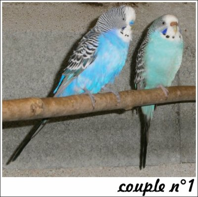 Le premier couple de perruches ondulées.