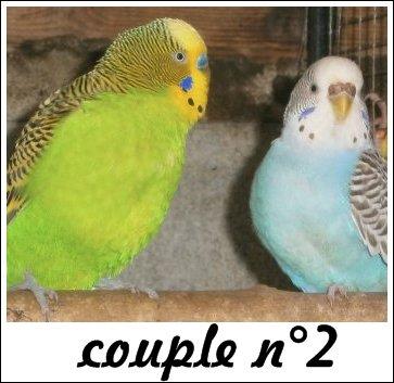 Le deuxième couple de perruches ondulées