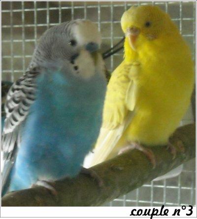 Troisième couple de perruches ondulées