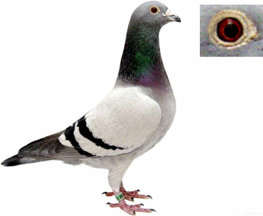 Pigeon62