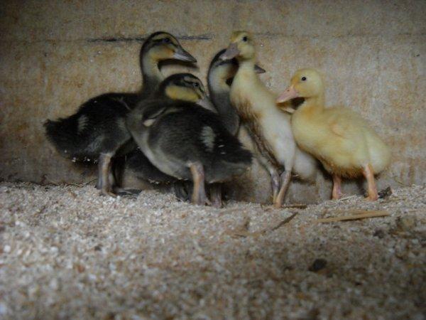 Mes 5 canards de 2-3 semaines