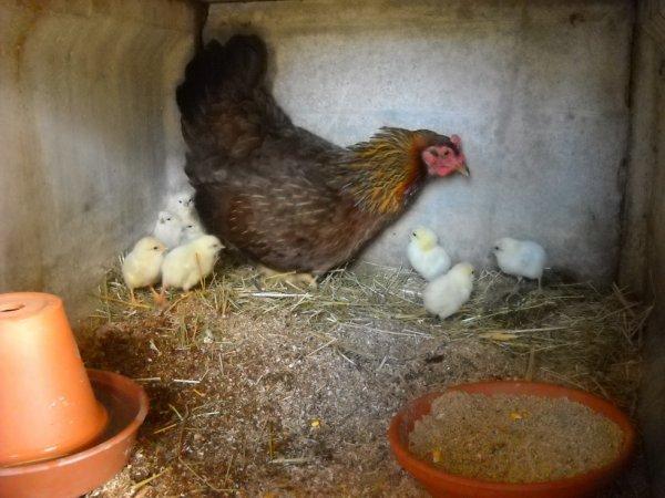 Ma poule et ses 8 poussins