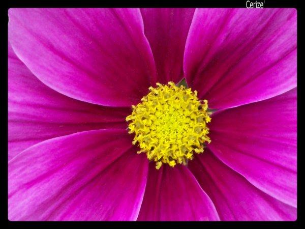 Amour et les fleurs ne durent qu'un printemps. [Pierre de Ronsard]
