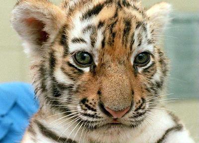 Tigron ma vie mes amis - Des animaux trop mignon ...